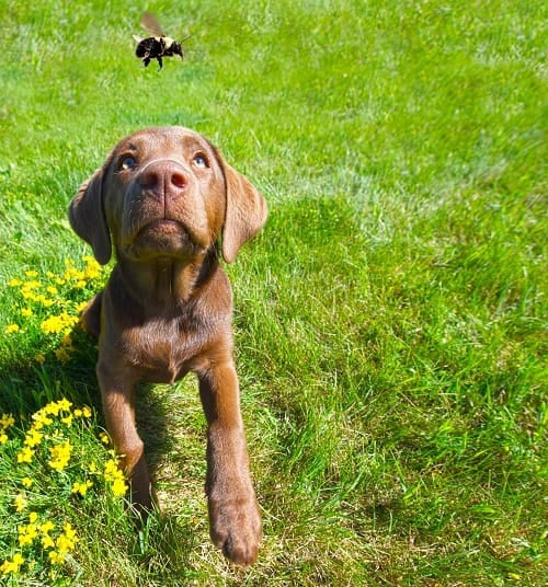 Chocolate lab puppy chasing a bee