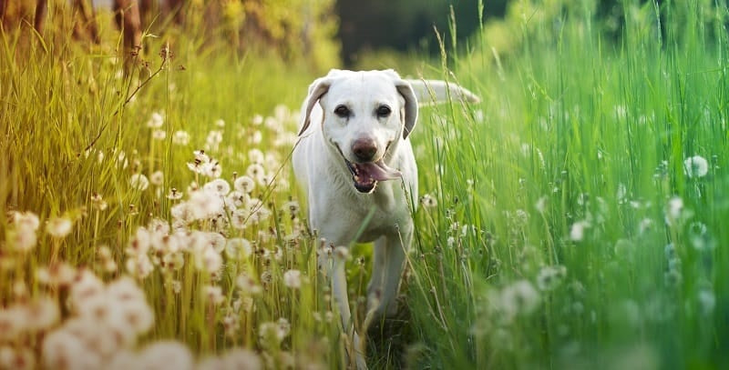 White lab in the long summer grass