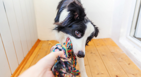 collie playing tug of war with owner