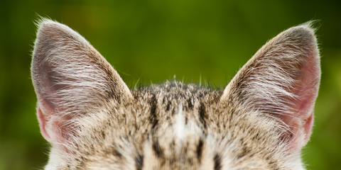 Close up of cat ears