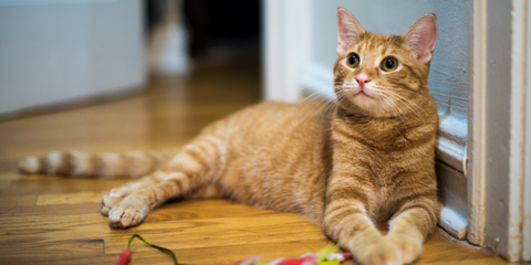 Ginger cat lying on wooden floor indoors with toy