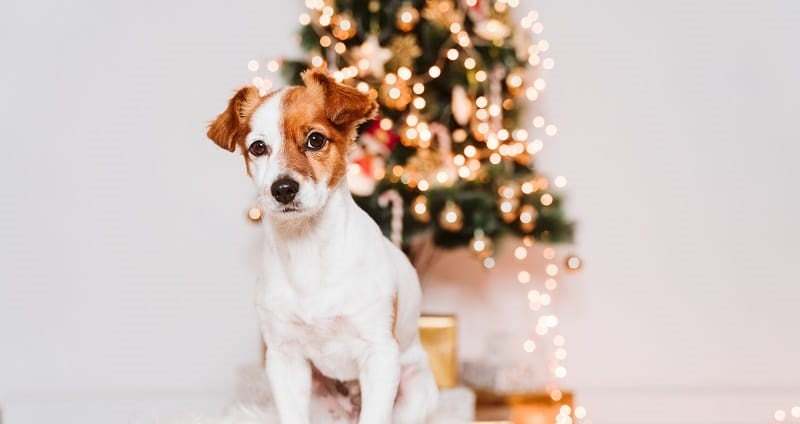 Jack Russell in front of a tree