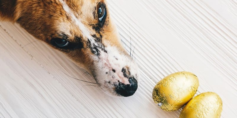 Dog nose near Easter chocolate