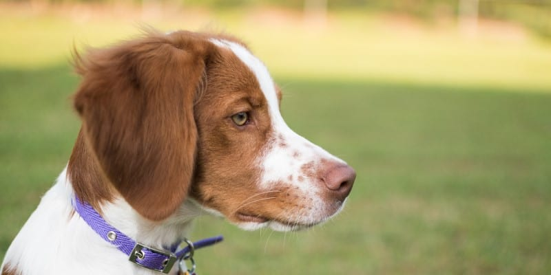 Brittany Puppy Dog Profile Head Shot Looking to Right
