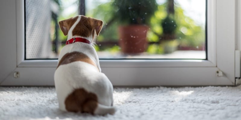 Jack Russell puppy looking out window