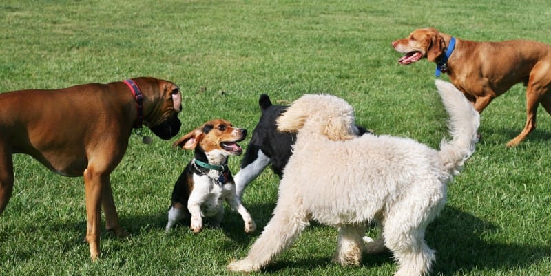 dogs playing in a field or park