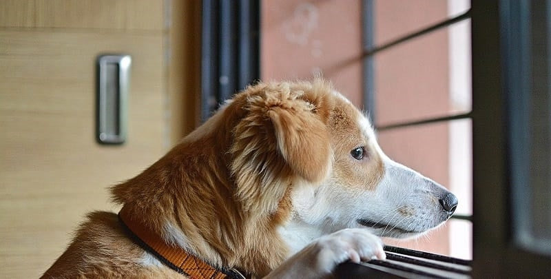 Mixed breed dog staring out the window