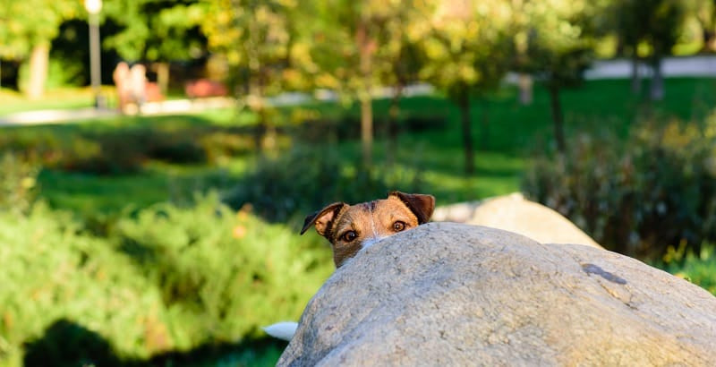 Jack Russell hiding