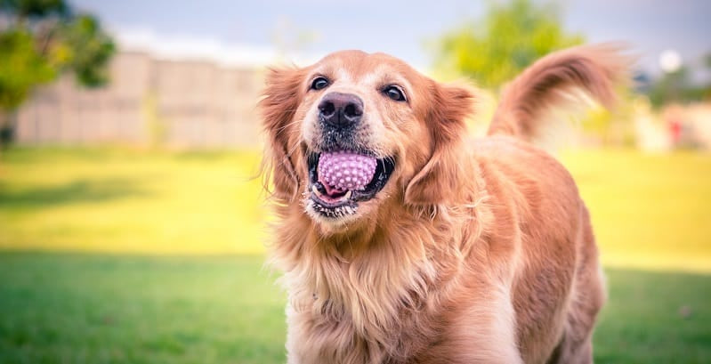 Retriever with ball in their mouth