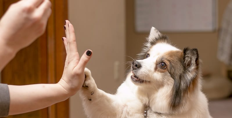 Dog high fiveing their owner