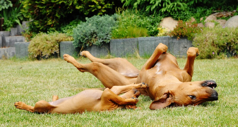 Puppy and adult Rhodesian Ridge-backs rolling over