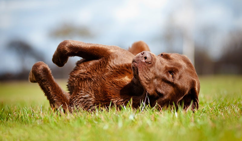 Chocolate lab lying down