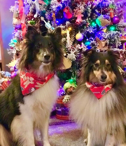 Two shelties by the tree