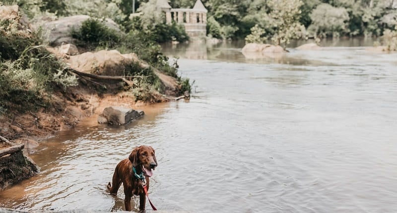 Spaniel cross in a lake