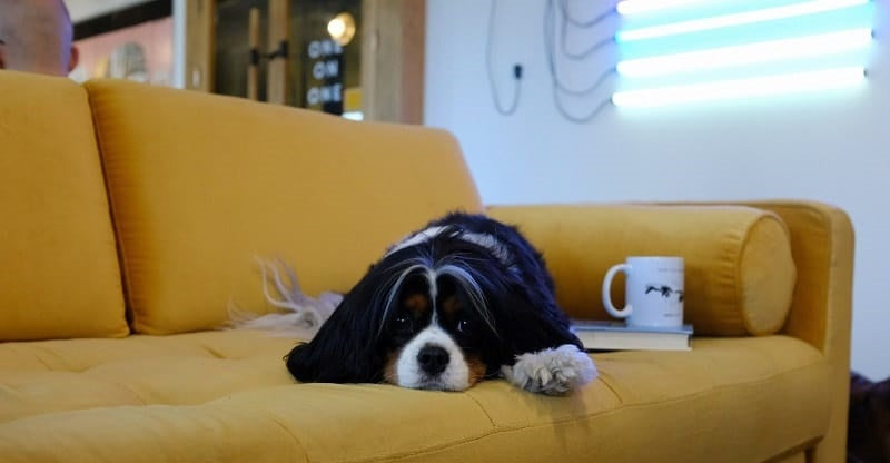 Dog lying flat on sofa