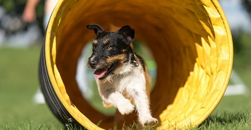 Jack russell running through tunnel