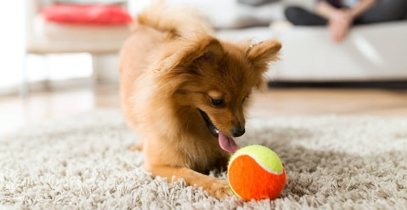 A Pomeranian playing with a ball
