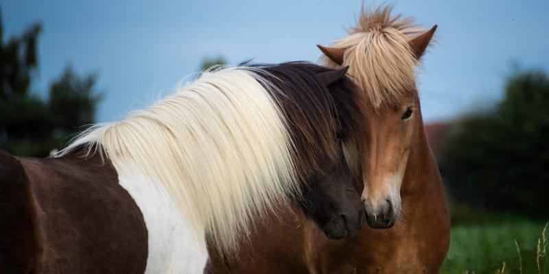 Two horses / ponies rubbing noses