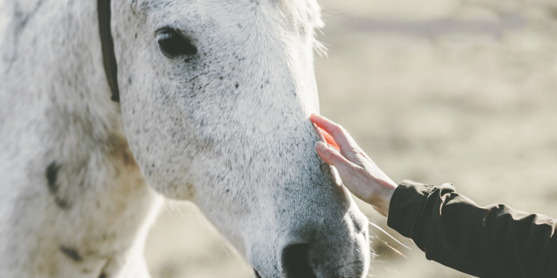 Owner touching white horse on the nose