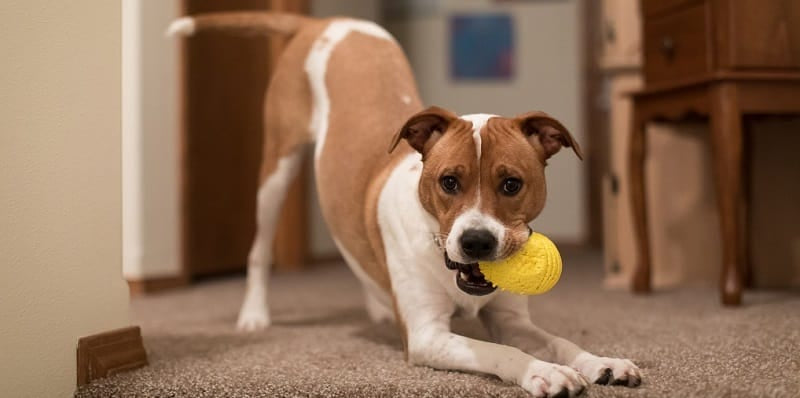 Jack Russell cross with toy