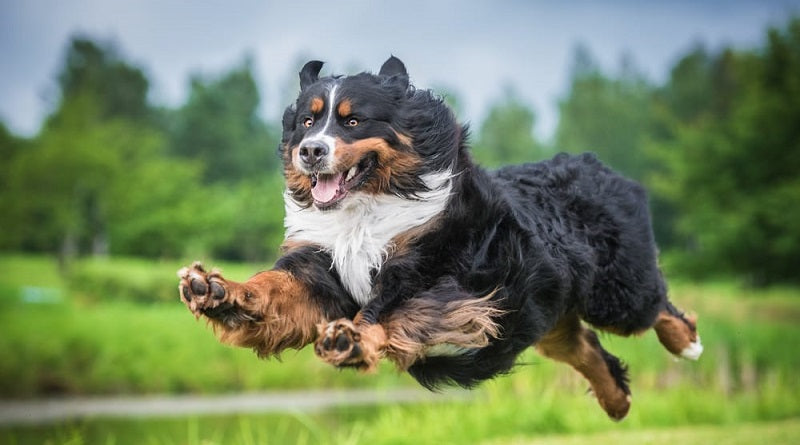 Bernese Mountain dog leaping