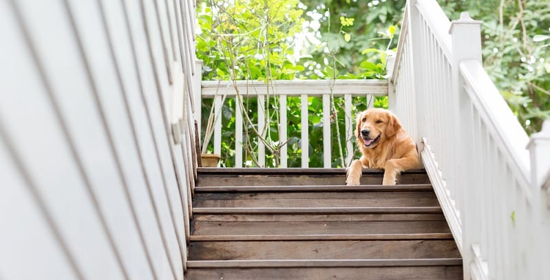 Golden Retriever at top of a set of stairs