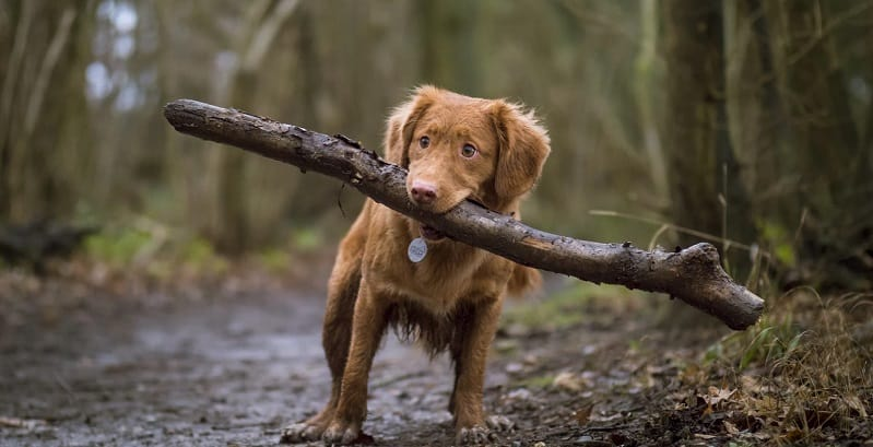 Cocker Spaniel carrying a big stick