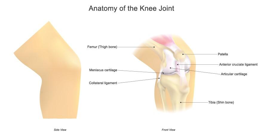 Anatomy of a human knee