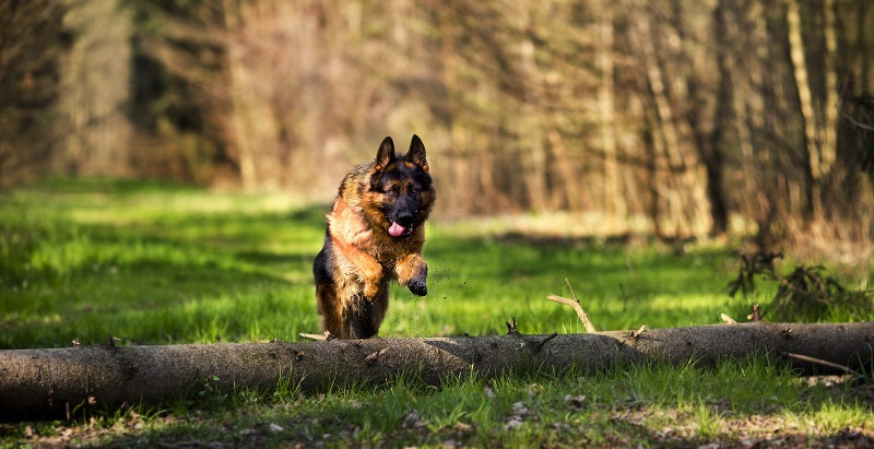 German Shepherd jumping over a log