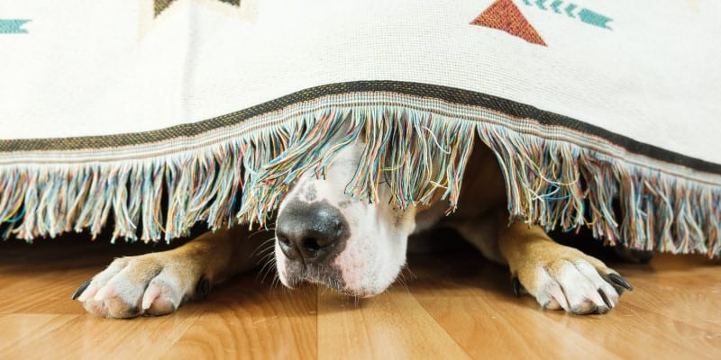 Dog hiding under bed in a storm