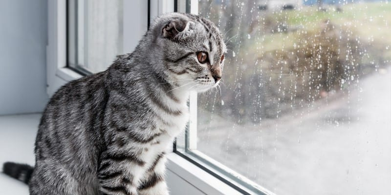 Grey cat looking out window when raining