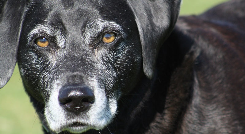 Older black lab looking at camera