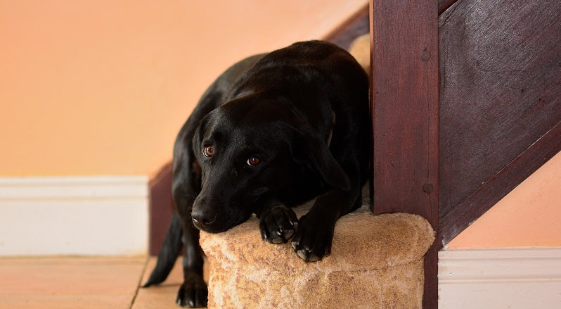 Black lab at the bottom of stairs