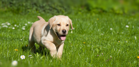 Yellow Labrador Puppy playing in the garden
