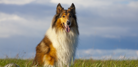A rough collie outside