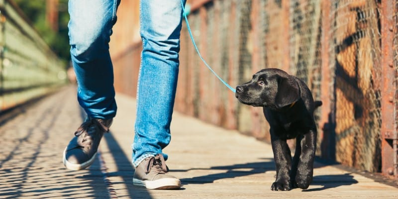 Black Labrador Puppy Walking with Owner