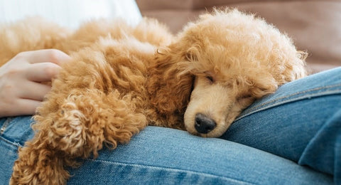 Poodle puppy on owner
