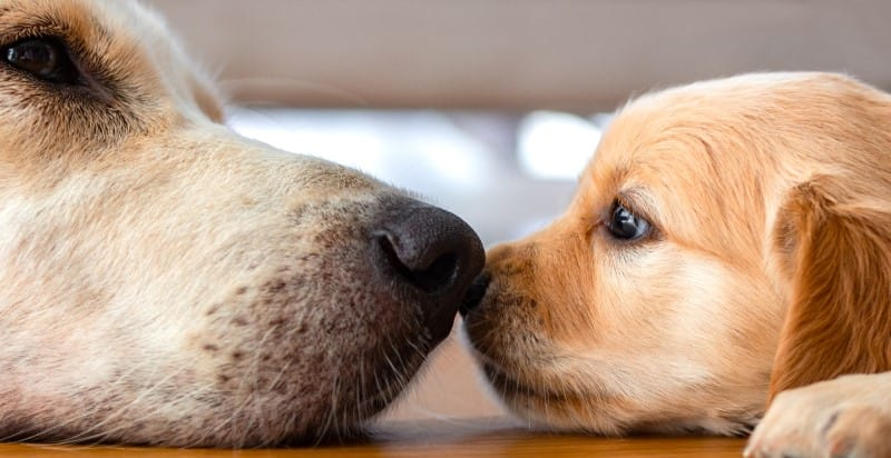 A golden retriever puppy laying on floor with senior dog nose to nose