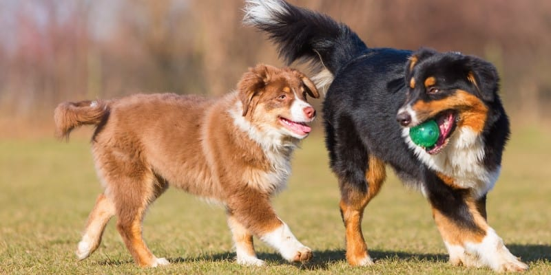 Australian Shepherd adult and puppy playing with a ball