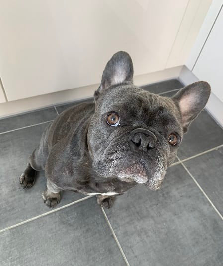Mo the frenchie waiting for his treat