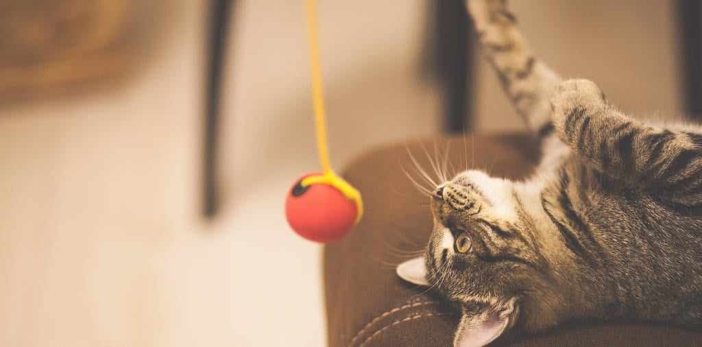 Cat playing with ball on teaser