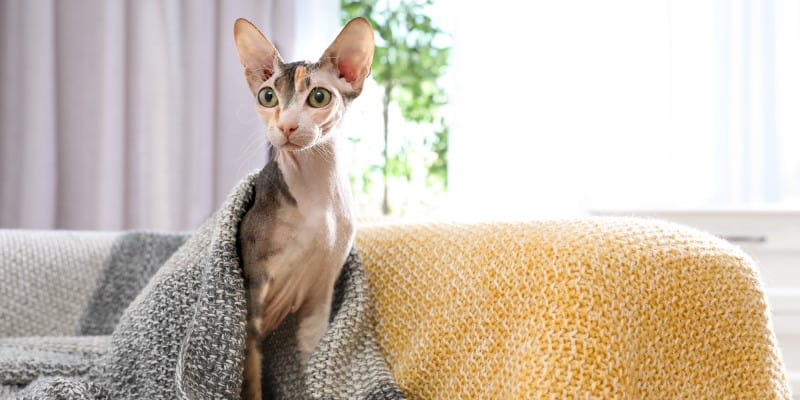 Sphynx cat under blanket on sofa at home