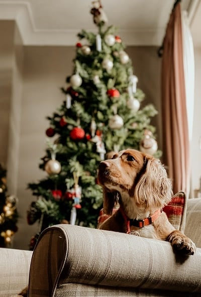 Spaniel with Christmas tree in background