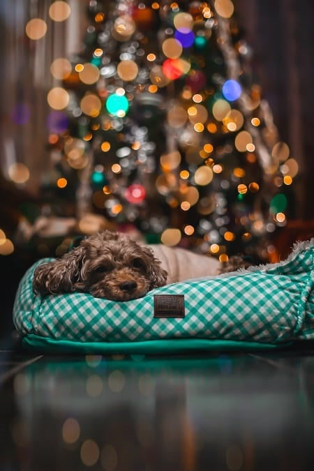 Dog in bed in front of Christmas tree