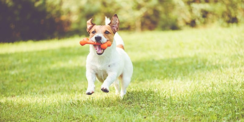 Small Dog Running with Toy