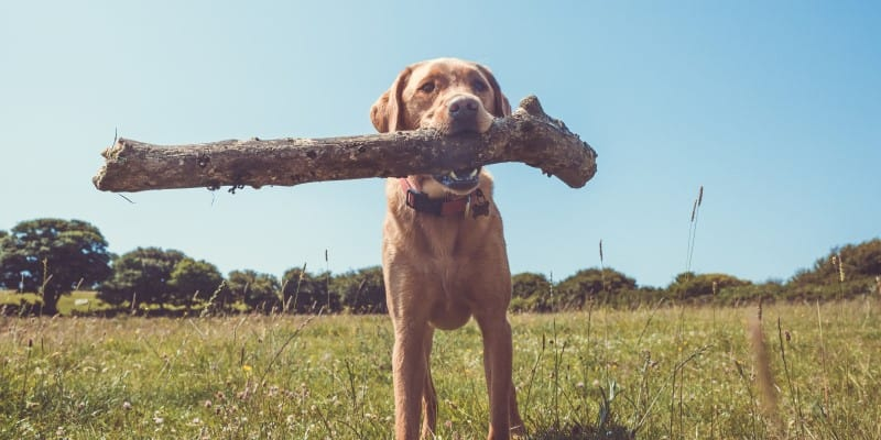 Labrador with large stick