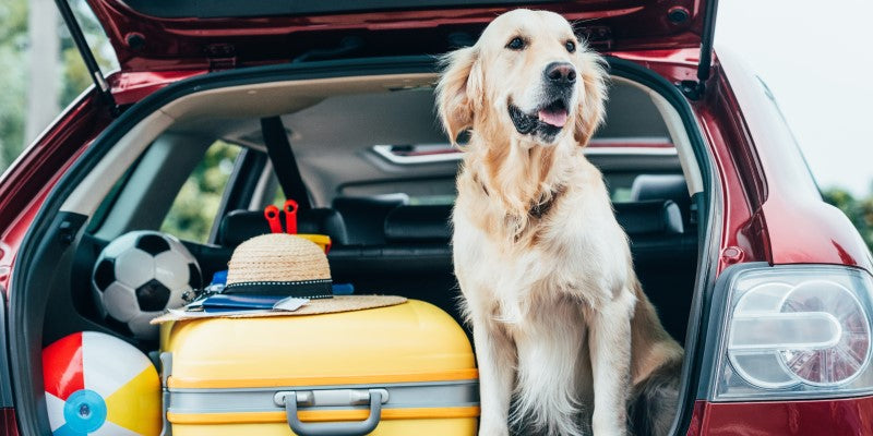 Dog in car with suitcases