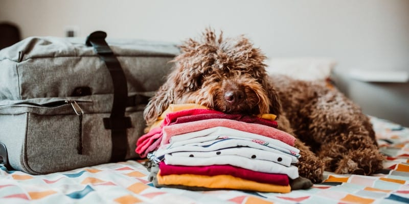 Dog on bed with clothing and suitcase ready for holiday