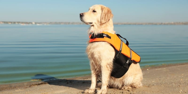 Labrador with a dog life jacket on