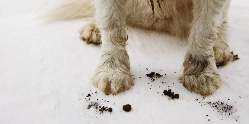 closeup of dog with muddy paws